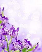 stock photo of purple iris  - Flowers lilac iris bouquet on white background - JPG