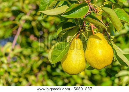 Two Pears On Tree Branch