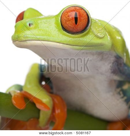 Close-up On A Red-eyed Tree Frog - Agalychnis Callidryas