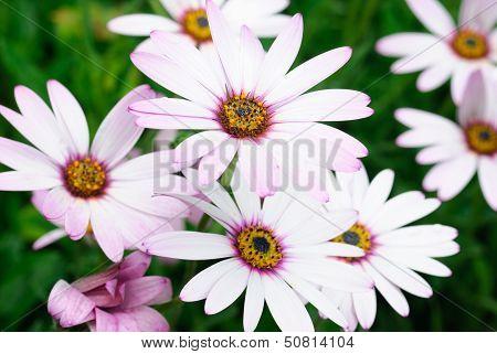Hardy cape daisies