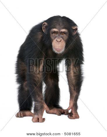 Young Chimpanzee Looking At The Camera - Simia Troglodytes (5 Years Old)