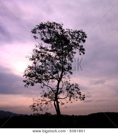 Sil_tree