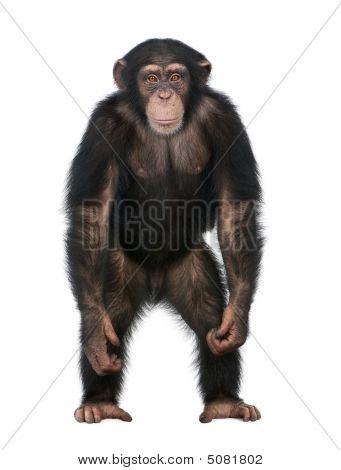 Young Chimpanzee Standing Up Like A Human - Simia Troglodytes (5 Years Old)
