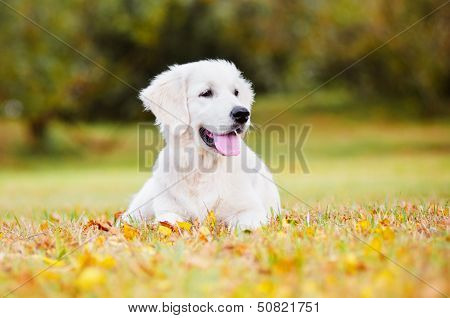 golden retriever dog autumn portrait