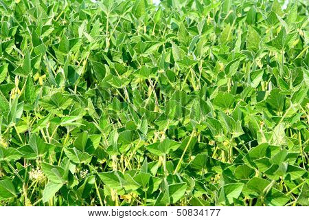 Soybean plants in garden