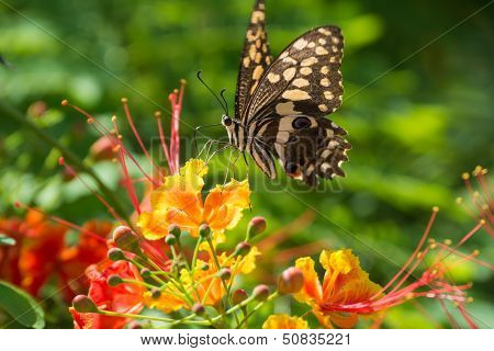 Citrus Swallow-tail Butterfly