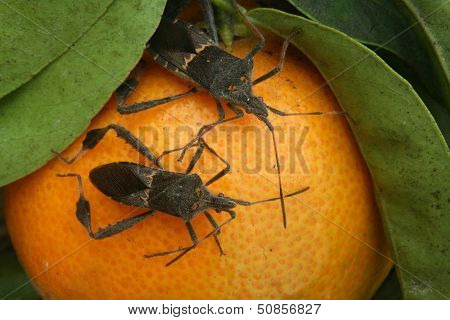 Two Leaf Footed Bugs on an Orange