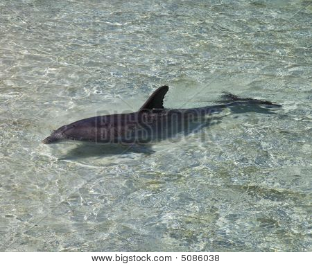 One Dolphin Swimming In Clear Water