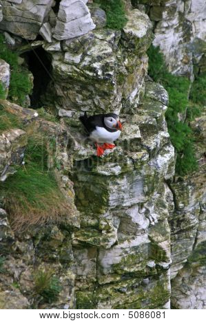 Puffin Sitting On A Rock