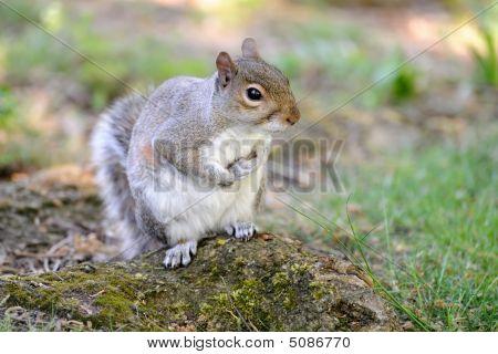 Grauhörnchen (Sciurus Carolinensis) bis auf dem Boden saßen
