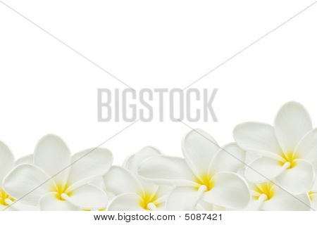 Plumeria On White Paper