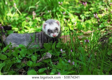 Ferret, Mustela putorius