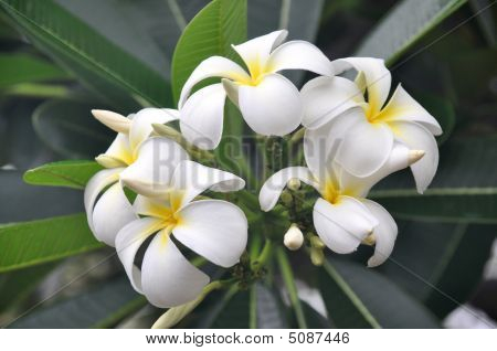 Hawaiian White Plumeria On Tree
