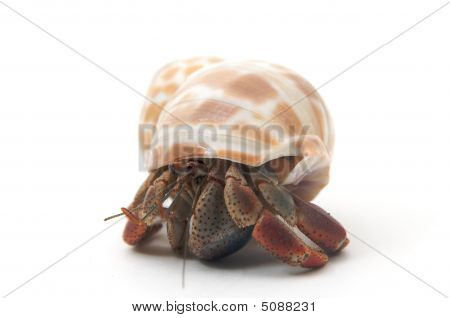 A pet hermit crab rests isolated on white faces camera