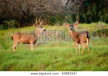 Black-tailed deer bucks