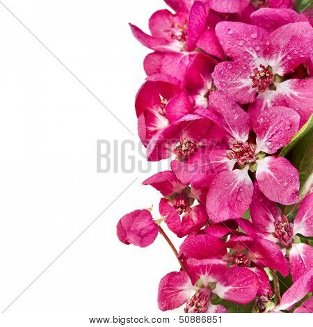 Pink cherry blossom (sakura flowers), close up macro shot isolated on a white background