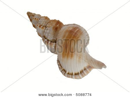 Marine Mollusk Shell From The Mediterranean Sea