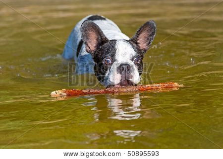 French bulldog with stick at the lake