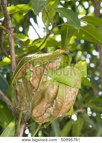 Ants Nest On Tree