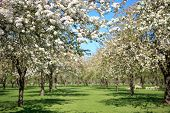 stock photo of orchard  - Beautiful orchard in blossom - JPG