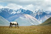 picture of shan  - Horse feeding grass - JPG