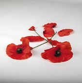 Poppies - For Remembrance Day