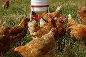 image of poultry  - Free range organic chickens poultry in a country farm - JPG
