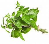 stock photo of origanum majorana  - Bunch Oregano or Marjoram Herb  - JPG