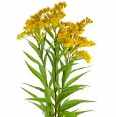 stock photo of goldenrod  - Solidago canadensis Goldenrod flower isolated on white background - JPG