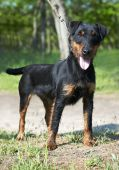 stock photo of german jagdterrier  - Jagdterrier  - JPG