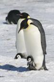 Постер, плакат: Императорские пингвины
