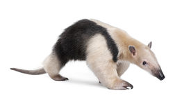 pic of honkers  - Collared Anteater - JPG