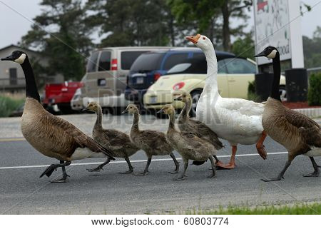Geese family with old babysitter duck