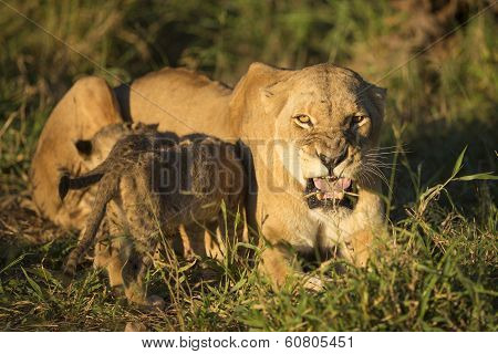 African Lion Mother And Feeding Cubs (panthera Leo) South Africa