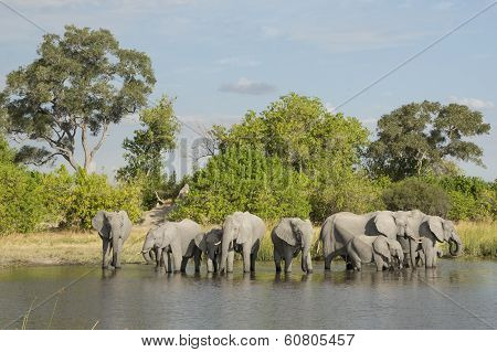 African Elephant (loxodonta Africana) Herd Drinking At Water's Edge South Africa