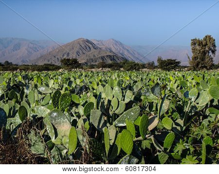 Prickly Pear Field Near Nazca