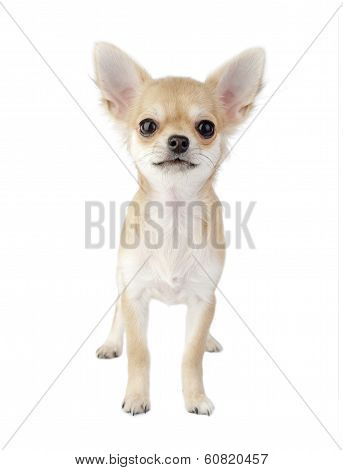 Cute chihuahua puppy standing straight looking at camera isolated