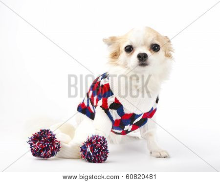 Chihuahua dog with bright sweater and knitted scarf