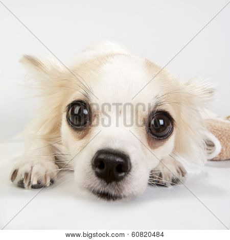 Amazing chihuahua eyes very close