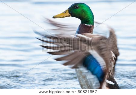 Mallard Ducks (anas Platyrhynchos) Flapping Wings In Pond