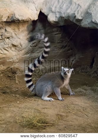 Lemur Funny Animal