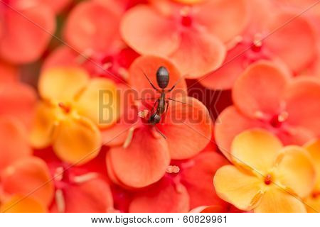 Ant On Orange Ixora Chinensis Flowers