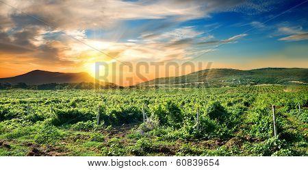 Crimean vineyard