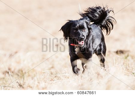 Mutt Of English Cocker Spaniel With German Spitz