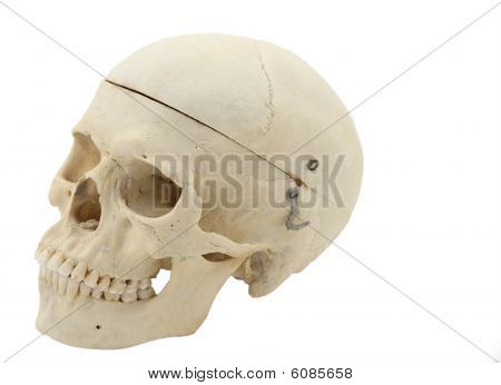 Human Anatomical Skull Clasp Down - Isolated