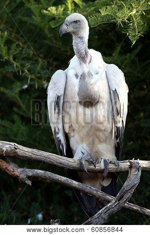 Griffon Vulture Bird