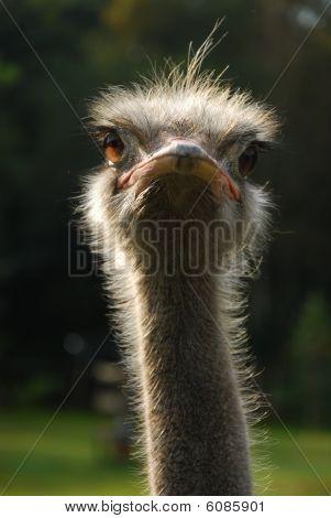 ostrich emotion