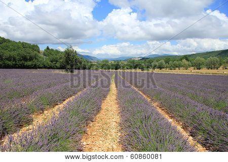 Lavender Fields Near Sault, France