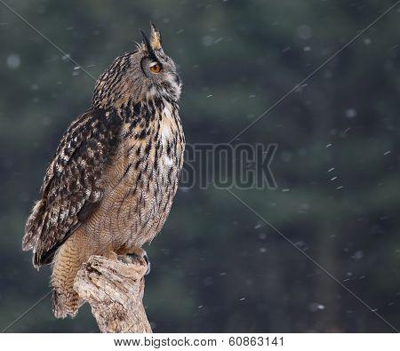 Looking Eurasian Eagle-Owl