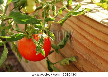 Growing Tomato